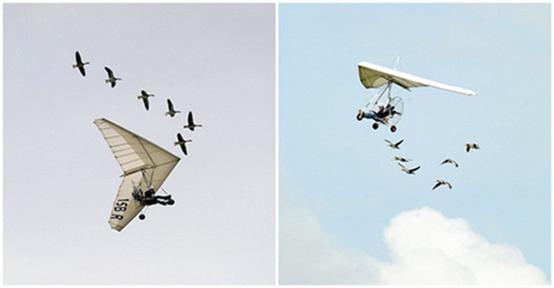 """与天鹅一起飞翔15年,法国的一位""""鸟人"""""""