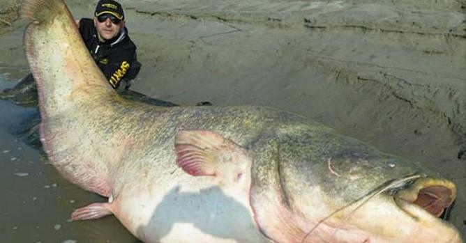 波兰渔民捕获200公斤鲇鱼 腹内发现纳粹年轻军官遗体