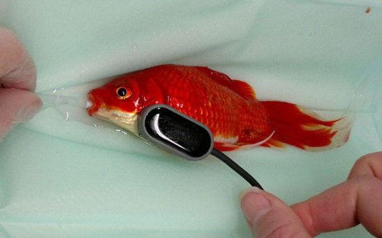 男子花费460美元为自己宠物金鱼做治疗便秘的手术 真有爱