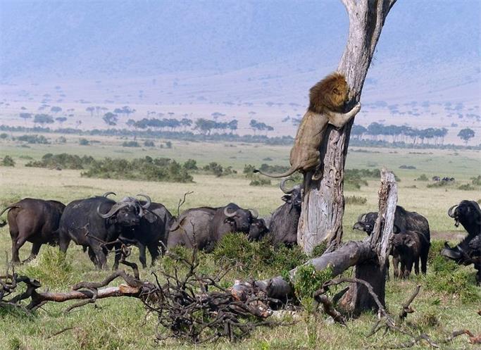 狮王被野牛群追 为活命 放弃尊严上树逃生