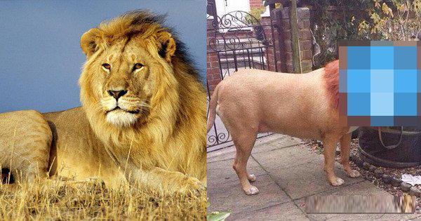 有人在网上买了森林之王狮子,收到货后当场气乐