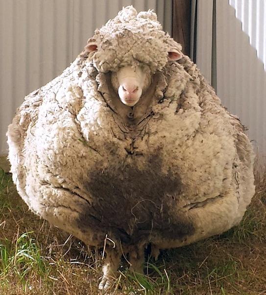 澳大利亚一羊失综六年回家,只因六年羊毛重达40多斤