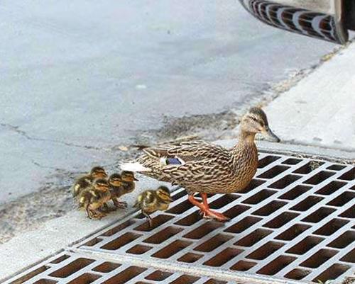 鸭子的孩子掉入阴井  鸭妈妈向人类警察成功求助