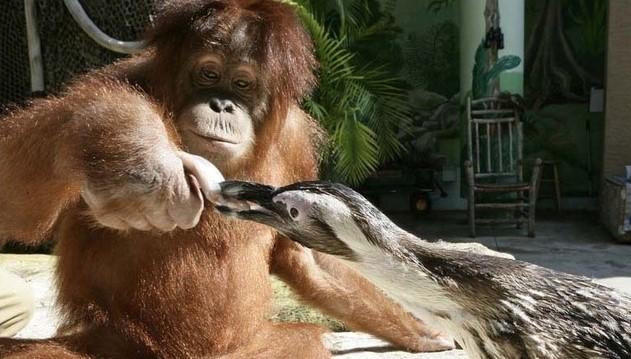 黑猩猩热心充当企鹅饲养员  喂鱼用心让人没见过